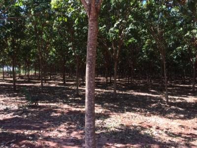 Fazenda de Seringa rim 600