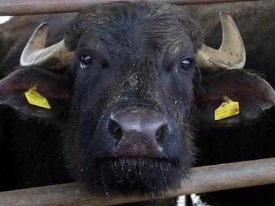 1976 - laticinio de bufala com imovel